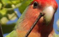 Panduan Cara Ternak Loverbird Lengkap Dari Modal Hingga Pemasaran