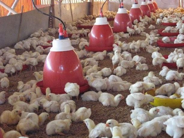 Cara Ternak Ayam Bagi Pemula Agar Cepat Panen