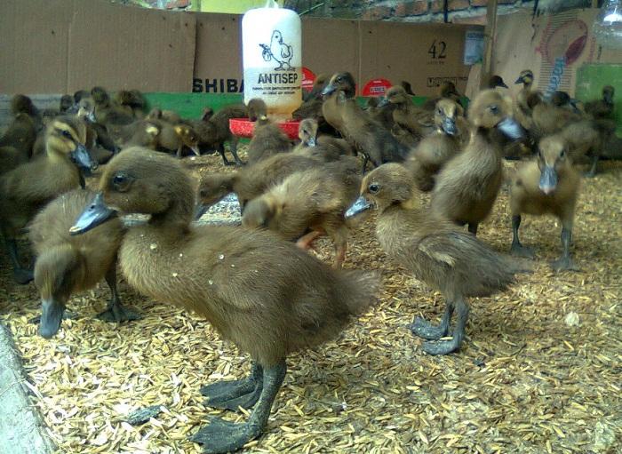 Cara Ternak Bebek Bagi Pemula yang benar