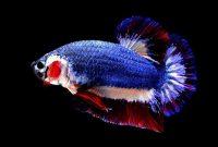 Cara Ternak Ikan Cupang dengan benar