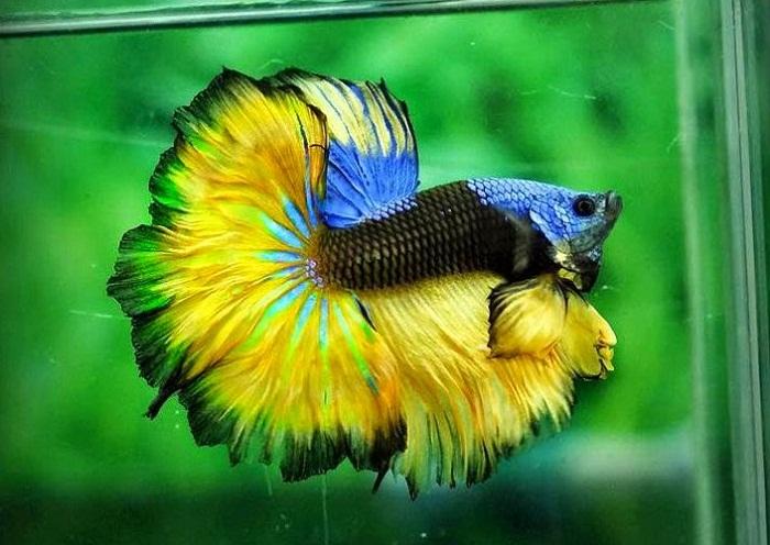 Cara Ternak Ikan Cupang bagi pemula