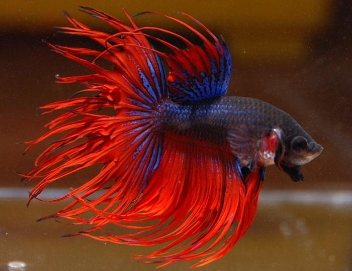 Cara Ternak Ikan Cupang aduan