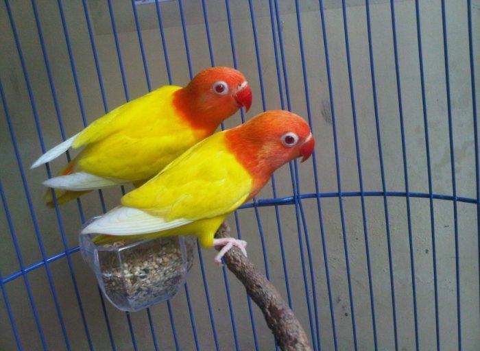 Cara Ternak Lovebird Bagi Pemula dangan tepat