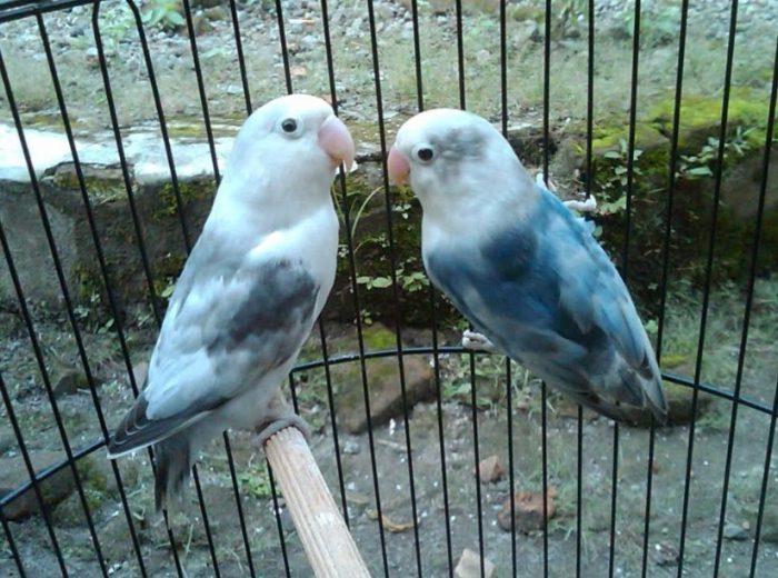 Cara Ternak Lovebird Bagi Pemula yang benar