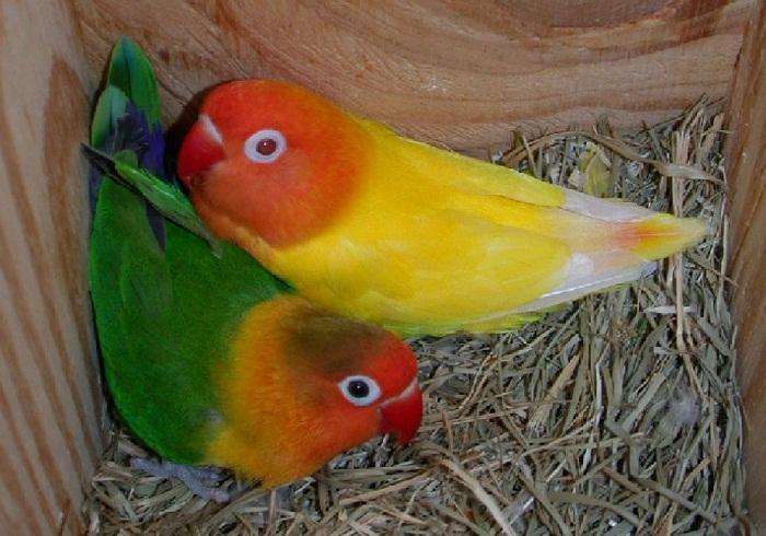 Cara Ternak Lovebird Koloni dengan benar