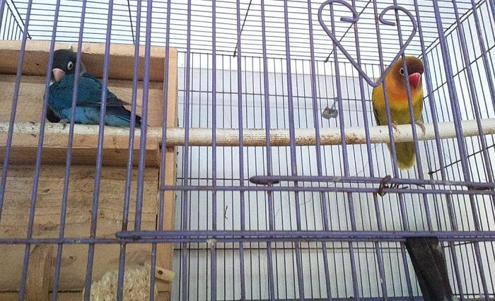 Cara Ternak Lovebird Koloni yang tepat