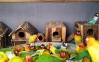 Cara Ternak Lovebird Koloni Untuk Pemula