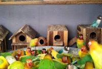 Cara Ternak Lovebird Koloni bagi pemula dengan tepat