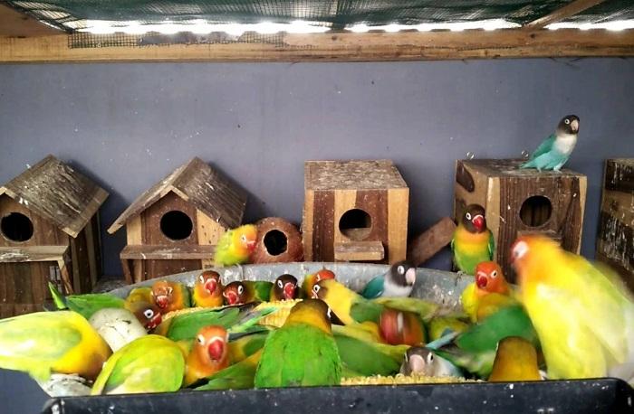 Cara Ternak Lovebird Koloni bagi pemula yang benar