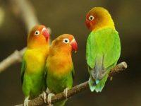 Cara Ternak Lovebird Bagi Pemula yang sukses