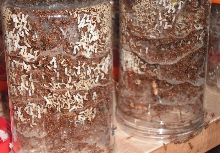 Cara Ternak Semut Rangrang dengan benar