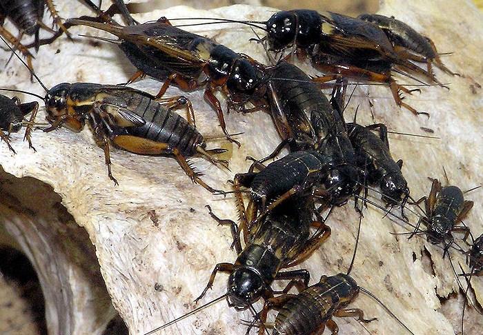 Cara Ternak Semut Rangrang berkualitas