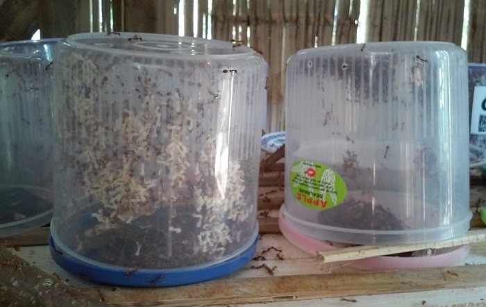 Cara Ternak Semut Rangrang yang cepat
