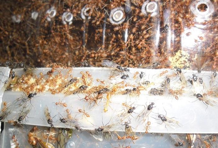 Cara Ternak Semut Rangrang terbaru