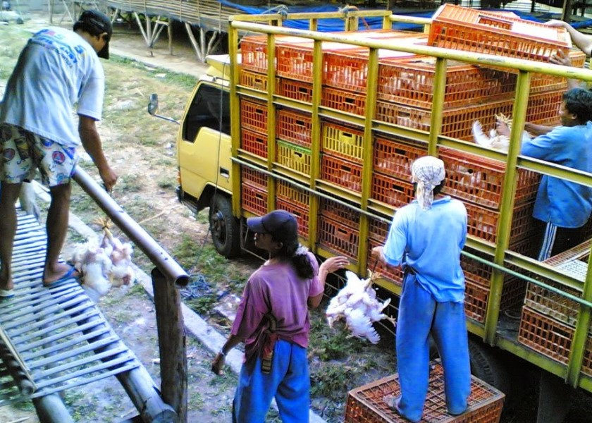 Metode Budidaya Ayam Dan Cara Ternak Ayam Bagi Pemula