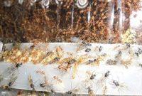 Cara Ternak Semut Rangrang