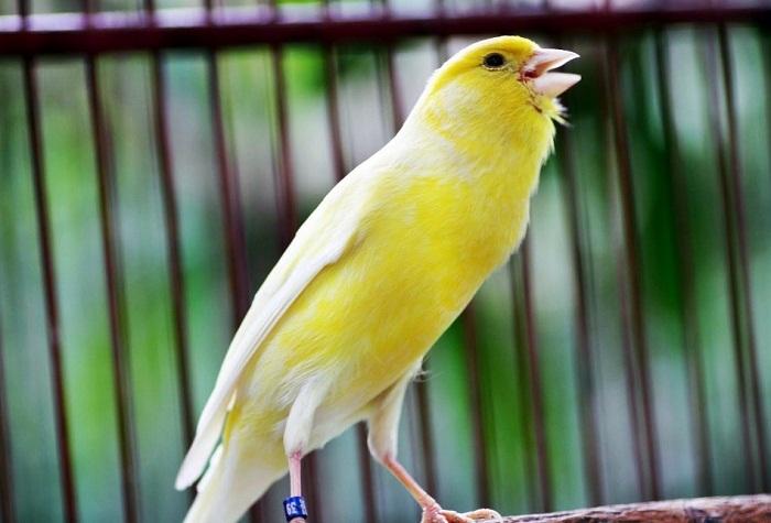 cara ternak burung kenari bagi pemula yang benar