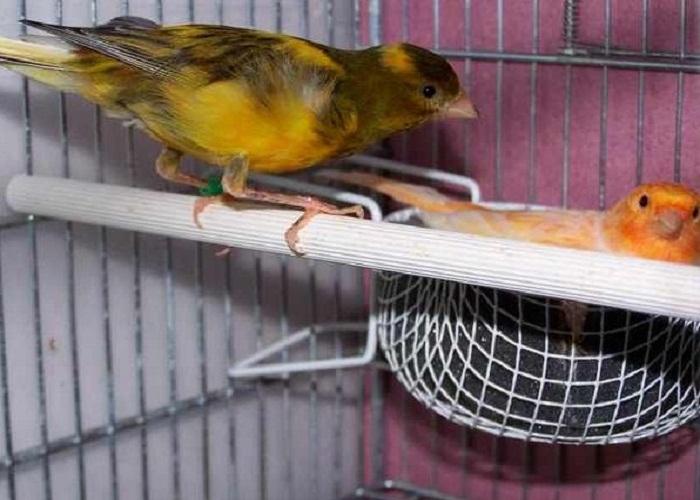 cara ternak burung kenari bagi pemula dan senior