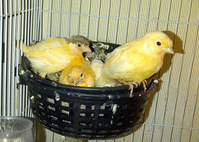 cara ternak burung kenari bagi pemula yang tepat