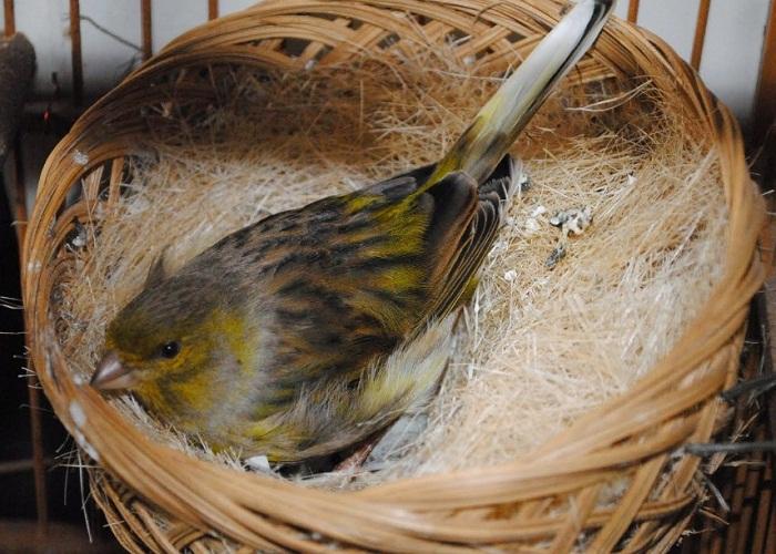 cara ternak burung kenari bagi pemula yang betul