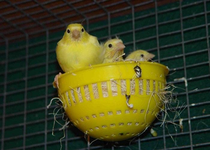 cara ternak burung kenari bagi pemula