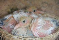 cara ternak burung merpati
