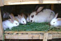 cara ternak kelinci berkualitas