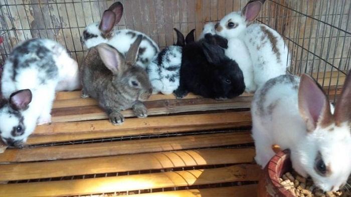 cara ternak kelinci yang benar