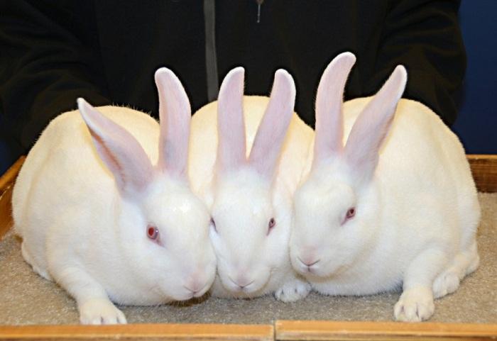 cara ternak kelinci lokalan