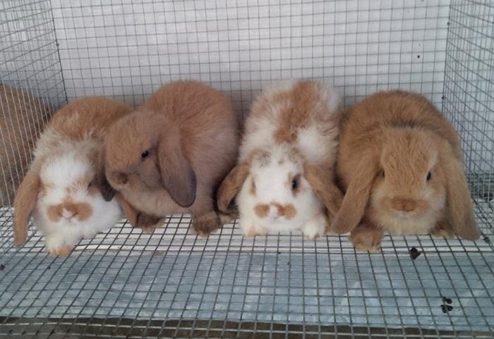 cara ternak kelinci holland lop