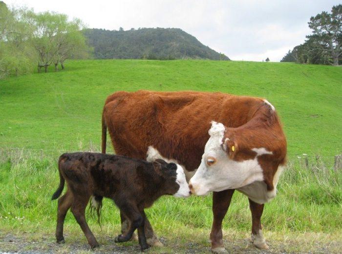cara ternak sapi daging