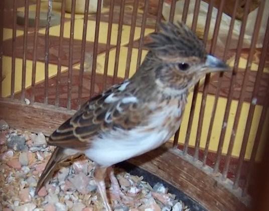 Burung Branjangan Borneo