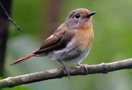 Burung Tledekan Betina
