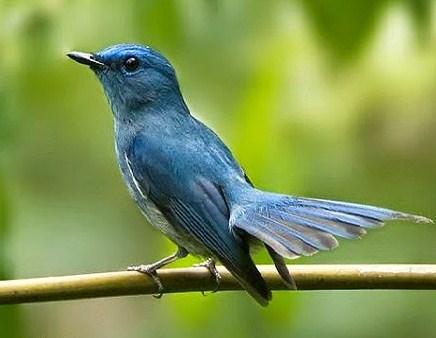 Burung Tledekan Biru