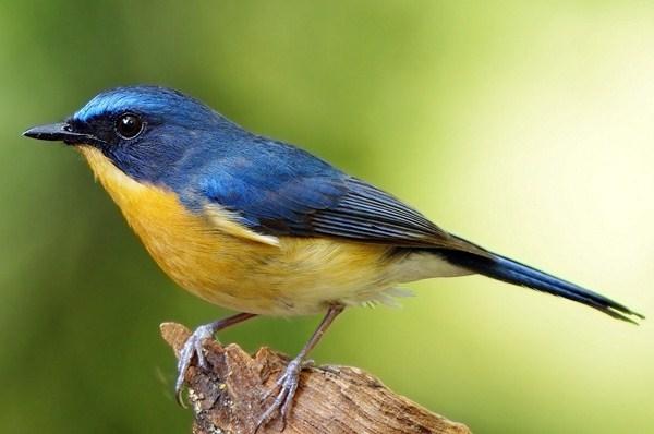 Burung Tledekan Pring Banyuwangi