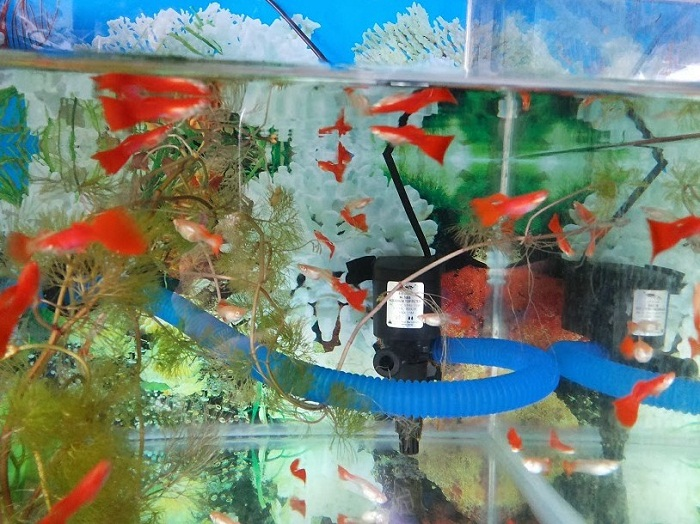 Cara Budidaya Ikan Guppy bAGI pemula