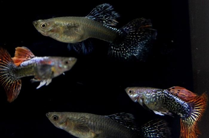 Cara Budidaya Ikan Guppy terbaik