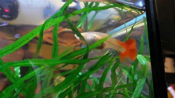 Cara Budidaya Ikan Guppy berkualitas