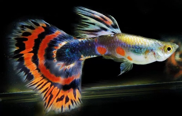 Cara Budidaya Ikan Guppy dengan tepat