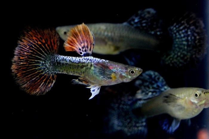 Cara Budidaya Ikan Guppy yang benar