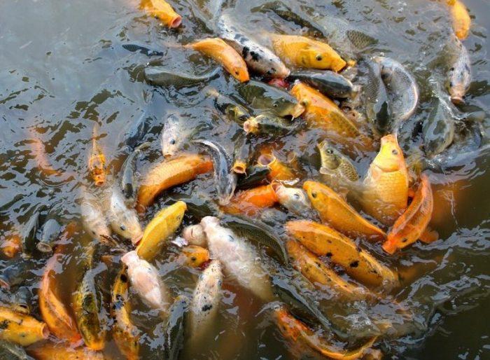 Cara Ternak Ikan mas dengan benar
