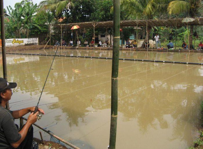 Cara Ternak Ikan mas hias