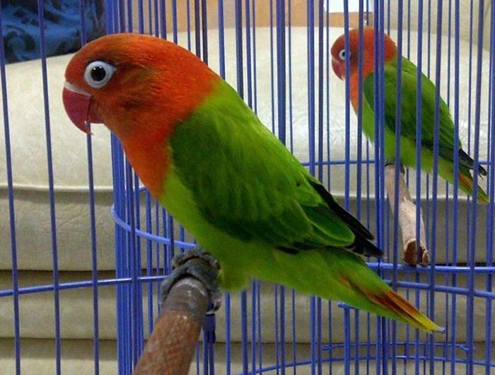 Harga Lovebird Biola