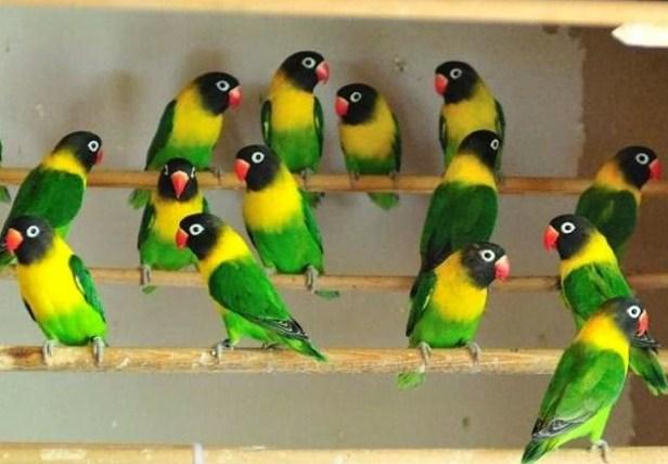 Harga Lovebird Dakocan