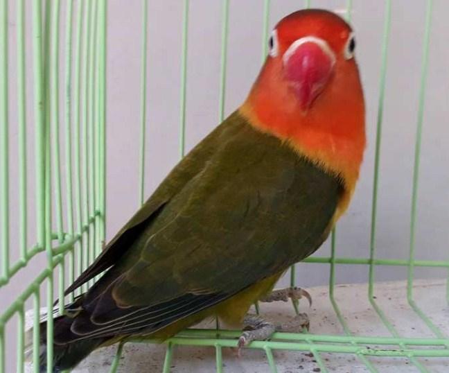 Harga Lovebird Dark Green