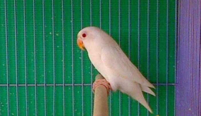 Jenis Lovebird Albino Putih