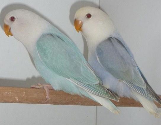 Jenis Lovebird Biola Fallow