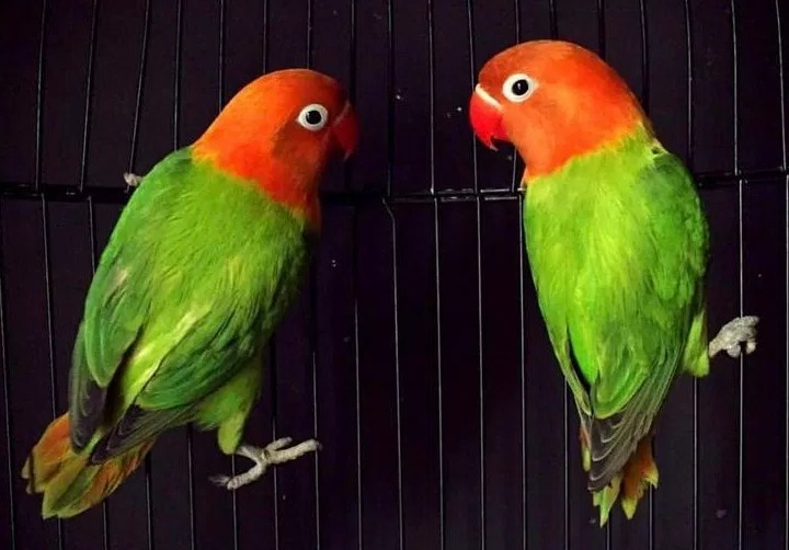 Jenis Lovebird Biola Merah