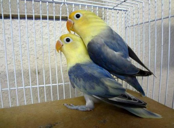 Jenis Lovebird Biola Parblue