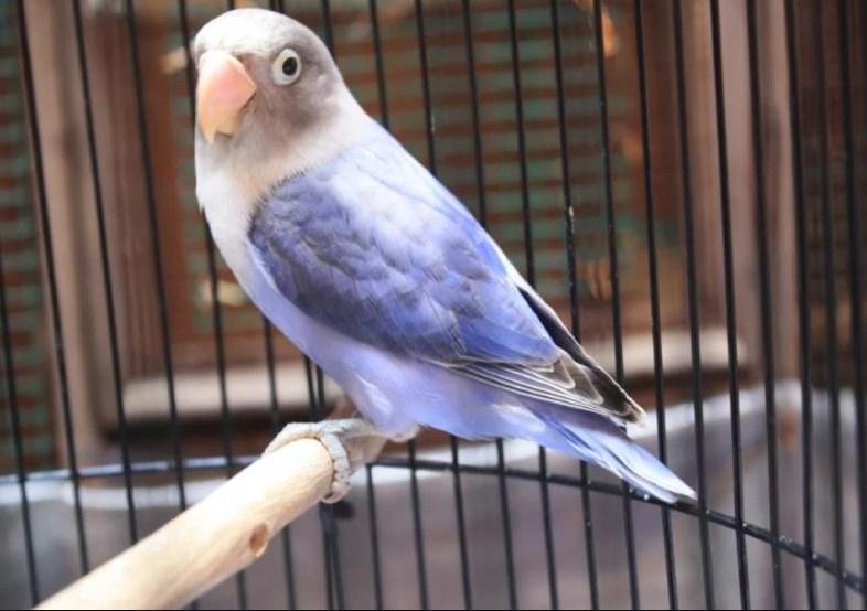 Jenis Lovebird Biru Violet